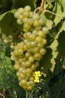 September - die Weinlese steht bevor