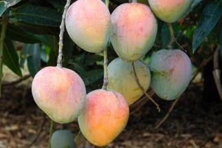 Die reife Mangofrucht hängt an langen Stielen am Baum und wiegt bis zu zwei Kilogramm.