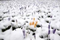 Verschneite Krokuswiese zum kalendarischen Frühlingsanfang.