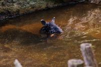 Tapir-Baby als blauäugige Wasserratte