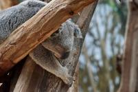 Koala schläft gern