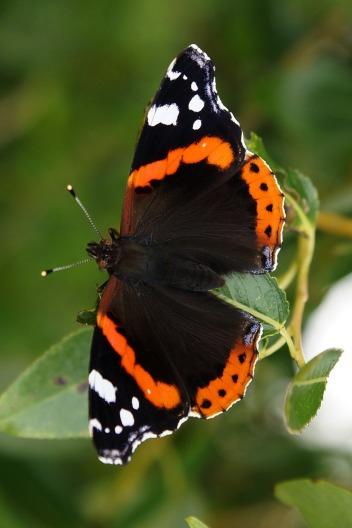 Admiral (Vanessa atalanta), ein Schmetterling aus der Familie der Edelfalter