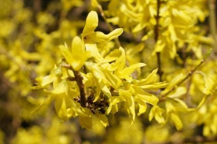 goldene Flut: Forsythia