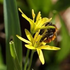 Wald-Goldstern, auch Wald-Gelbstern (Gagea lutea) mit Wildhummel
