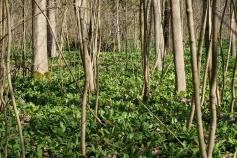 Bärlauch (Allium ursinum) typisch für den Leipziger Auenwald