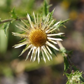 Eberwurz (Carlina Vulgaris)